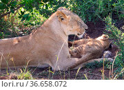 Löwenmutter mit ihrem kleinen Kind. Стоковое фото, фотограф Zoonar.com/Carola Götze / easy Fotostock / Фотобанк Лори