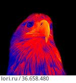 Golden eagle portrait (sovereign eagle). Scanning the animal's body... Стоковое фото, фотограф Zoonar.com/Maximilian Buzun / easy Fotostock / Фотобанк Лори