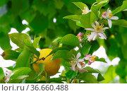 Zitrone am Baum - lemon on tree 10. Стоковое фото, фотограф Zoonar.com/LIANEM / easy Fotostock / Фотобанк Лори