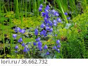 Gartenteich, blaue Glockenblume, Campanula persicfolia, Pfirsichblättrige... Стоковое фото, фотограф Zoonar.com/Bildagentur Geduldig / easy Fotostock / Фотобанк Лори