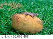 Lizard on a coconut. Indian bloodsucker (Common Garden Lizard, Calotes... Стоковое фото, фотограф Zoonar.com/Maximilian Buzun / easy Fotostock / Фотобанк Лори