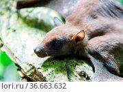 Bat portrait. Indian flying fox (Pteropus giganteus chinghaiensis... Стоковое фото, фотограф Zoonar.com/Maximilian Buzun / easy Fotostock / Фотобанк Лори