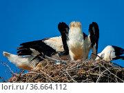Three white stork chicks in nest. Chicks before departure. One of... Стоковое фото, фотограф Zoonar.com/Maximilian Buzun / easy Fotostock / Фотобанк Лори