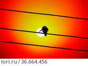 Kingfisher Halcyon smyrnensis on electric wire. Sri Lanka wintertime... Стоковое фото, фотограф Zoonar.com/Maximilian Buzun / easy Fotostock / Фотобанк Лори