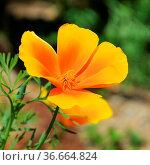 Kalifornischer Mohn - California poppy 35. Стоковое фото, фотограф Zoonar.com/LIANEM / easy Fotostock / Фотобанк Лори