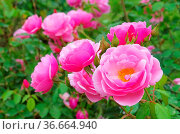 Rose Bow Bells 02. Стоковое фото, фотограф Zoonar.com/LIANEM / easy Fotostock / Фотобанк Лори