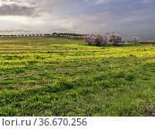 Field with grass, almond trees and olive trees. Pinto. Madrid. Spain... Стоковое фото, фотограф María del Valle Martín Morales / age Fotostock / Фотобанк Лори