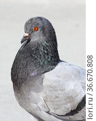 A grey dove basking in the sun. Стоковое фото, фотограф Елена Бобкова / Фотобанк Лори