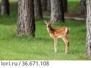 A side view of a cute fawn in a grassy field near Newman Lake, Washington... Стоковое фото, фотограф Zoonar.com/Gregory Johnston / easy Fotostock / Фотобанк Лори