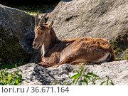 Male mountain ibex - capra ibex sitting on a rock in a German park. Стоковое фото, фотограф Zoonar.com/Rudolf Ernst / easy Fotostock / Фотобанк Лори