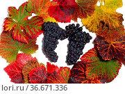 Weinlaub mit Trauben. Стоковое фото, фотограф Zoonar.com/Rüdiger Rebmann / easy Fotostock / Фотобанк Лори