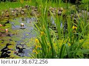Gartenteich, Seerosen und Seerosenblätter. Стоковое фото, фотограф Zoonar.com/Bildagentur Geduldig / easy Fotostock / Фотобанк Лори
