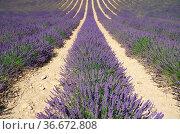 Lavendelfeld - lavender field 06. Стоковое фото, фотограф Zoonar.com/LIANEM / easy Fotostock / Фотобанк Лори