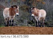 Przewalski-Pferd. Стоковое фото, фотограф Zoonar.com/Martina Berg / easy Fotostock / Фотобанк Лори