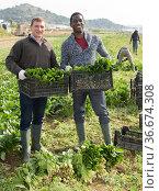 Farmers showing spinach harvest. Стоковое фото, фотограф Яков Филимонов / Фотобанк Лори