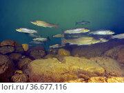 Freshwater Rivers. Sea trout (Salmo trutta trutta). Sella river. ... Стоковое фото, фотограф Marevision / age Fotostock / Фотобанк Лори