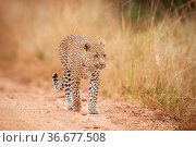 Leopard walking towards the camera in the Kruger National Park, South... Стоковое фото, фотограф Zoonar.com/Simon Eeman / easy Fotostock / Фотобанк Лори
