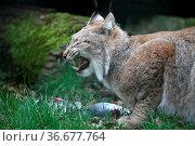 Eurasischer Luchs mit erbeuteter Taube. Стоковое фото, фотограф Zoonar.com/Martina Berg / easy Fotostock / Фотобанк Лори