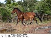 Wild Garrano horse (Equus ferus caballus) foal running beside mare... Стоковое фото, фотограф Kristel Richard / Nature Picture Library / Фотобанк Лори