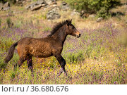 Wild Garrano horse foal (Equus ferus caballus) running in a lavender... Стоковое фото, фотограф Kristel Richard / Nature Picture Library / Фотобанк Лори
