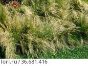 Stipa tenuissima Ponytails, Syn. Nasella tenuissima, Mexikanisches... Стоковое фото, фотограф Zoonar.com/Peter Himmelhuber / age Fotostock / Фотобанк Лори
