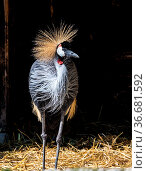 The Black Crowned Crane, Balearica pavonina is a bird in the crane... Стоковое фото, фотограф Zoonar.com/Rudolf Ernst / age Fotostock / Фотобанк Лори