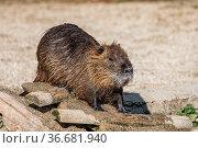 Coypu, Myocastor coypus, also known as river rat or nutria, is a ... Стоковое фото, фотограф Zoonar.com/Rudolf Ernst / age Fotostock / Фотобанк Лори