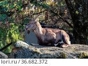 Male mountain ibex - capra ibex in the zoo. Стоковое фото, фотограф Zoonar.com/Rudolf Ernst / age Fotostock / Фотобанк Лори