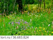 Schwarzwald, Baden-Württemberg, Hochschwarzwald, Wiesenblumen in der... Стоковое фото, фотограф Zoonar.com/Bildagentur Geduldig / easy Fotostock / Фотобанк Лори