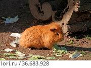 Meerschweinchen. Стоковое фото, фотограф Zoonar.com/Antje Lindert-Rottke / easy Fotostock / Фотобанк Лори