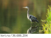 A beautiful great blue heron wades in the calm water near Hauser,... Стоковое фото, фотограф Zoonar.com/Gregory Johnston Photography / easy Fotostock / Фотобанк Лори