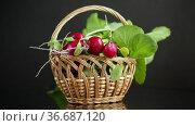Fresh natural organic ripe radish in basket. Стоковое видео, видеограф Peredniankina / Фотобанк Лори