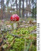 Находка в осеннем лесу. Мухоморы (Amanita muscaria) можно встретить в сентябре. Стоковое фото, фотограф Александр Романов / Фотобанк Лори