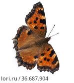 Grosser, Fuchs, Nymphalis polychloros, Schmetterling, Стоковое фото, фотограф Zoonar.com/Manfred Ruckszio / age Fotostock / Фотобанк Лори