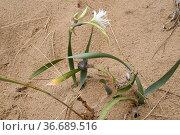 Sea daffodil (Pancratium maritimum) is a perennial herb native to... Стоковое фото, фотограф J M Barres / age Fotostock / Фотобанк Лори