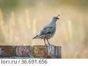 A small cute California quail perched on a brick structure near Hauser... Стоковое фото, фотограф Zoonar.com/Gregory Johnston Photography / easy Fotostock / Фотобанк Лори