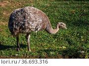 Darwin's rhea, Rhea pennata also known as the lesser rhea. It is a... Стоковое фото, фотограф Zoonar.com/Rudolf Ernst / easy Fotostock / Фотобанк Лори