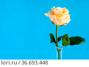 Horizontal still-life with copyspace - fresh yellow and white rose... Стоковое фото, фотограф Zoonar.com/Valery Voennyy / easy Fotostock / Фотобанк Лори