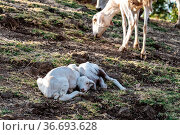 Goats in Ethiopia near the Blue Nile falls, Tis-Isat Falls in Amara... Стоковое фото, фотограф Zoonar.com/Rudolf Ernst / easy Fotostock / Фотобанк Лори