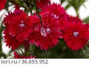 Dark red garden carnation flowers macro floral background. Стоковое фото, фотограф Tamara Kulikova / Фотобанк Лори
