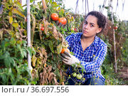 Young female farmer harvesting tomatoes on farm field. Стоковое фото, фотограф Яков Филимонов / Фотобанк Лори