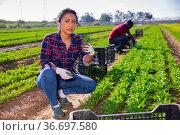Hired female worker collects fresh green arugula on a field. Стоковое фото, фотограф Яков Филимонов / Фотобанк Лори