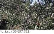 Fresh ripe olives hanging on tree branches in autumn olive grove. Стоковое видео, видеограф Яков Филимонов / Фотобанк Лори