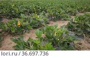 Rows of harvest of zucchini on the farm field. Стоковое видео, видеограф Яков Филимонов / Фотобанк Лори