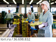Young woman working on sorting line at fruit warehouse, stacking boxes with selected apples. Стоковое фото, фотограф Яков Филимонов / Фотобанк Лори