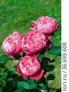 Teehybrid-Rose, Accademia Barni, Стоковое фото, фотограф Zoonar.com/Manfred Ruckszio / age Fotostock / Фотобанк Лори