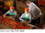 Group of workers sorting ripe mandarins. Стоковое фото, фотограф Яков Филимонов / Фотобанк Лори