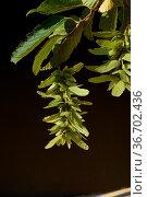 Hainbuche, Carpinus, betulus, Samen. Стоковое фото, фотограф Zoonar.com/Manfred Ruckszio / easy Fotostock / Фотобанк Лори