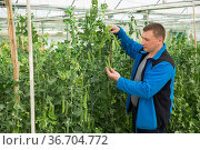 Male horticulturist during harvesting with pea and soy seedlings. Стоковое фото, фотограф Яков Филимонов / Фотобанк Лори