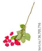 Wilted red rose flower and fallen petals isolated on white background. Стоковое фото, фотограф Zoonar.com/Valery Voennyy / easy Fotostock / Фотобанк Лори
